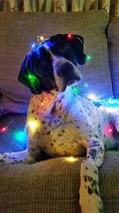 791 best christmas dogs images on pinterest animals christmas