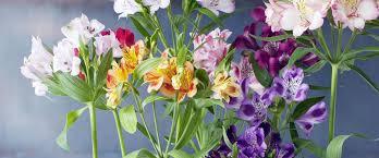 alstroemeria flower alstroemeria care tips chrysal
