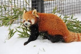 panda bear free pictures pixabay
