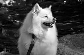 american eskimo dog black american eskimo dog from the spitz family