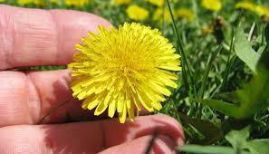 Dandelion Facts The Biology Of Dandelions