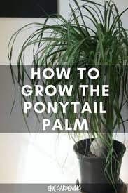 indoor palm best 25 ponytail plant ideas on pinterest small indoor plants