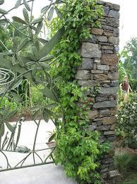 online plant guide decumaria barbara climbing hydrangea