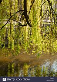 weeping willow tree leaves backlit hanging a small river stock