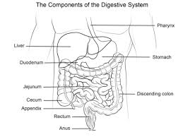 human digestive system coloring page free printable coloring pages