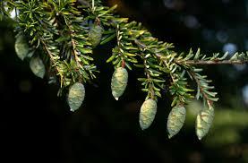 native plants of canada the major north american conifers with descriptions