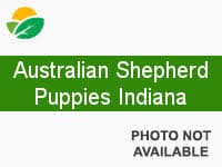australian shepherd indiana little debs toy aussies washington for sale veradale washington
