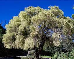 gardensonline agonis flexuosa variegata