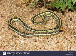 western ribbon western ribbon snake thamnophis proximus origin unknown 21 july