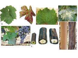 Symptoms Of Viral Diseases In Plants - grapevine virus diseases economic impact and current advances in