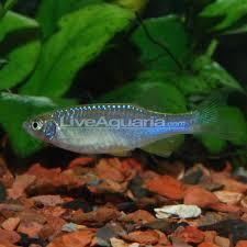 beginner fish tropical fish for beginners in freshwater aquariums