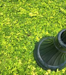 ornamental peanut giardinaggio grasses ground