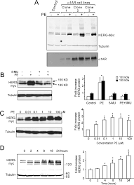 post transcriptional control of human ether a go go related gene