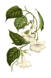 Mandevilla Plant Diseases - mandevilla plant care tips for growing and training mandevilla vine