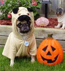 18 pug dogs in halloween costumes omfg