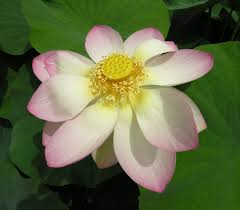 Flowers Com Coupon Code Nelumbo Nucifera Gaertn Coupon Code Nicesup123 Gets 25 Off At