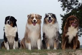 australian shepherd water get to know the australian shepherd dog breed our dogs and us