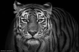 tiger out of my series animals wolf ademeit flickr