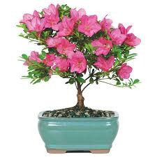 satsuki azalea bonsai trees nursery trees bonsai and nursery