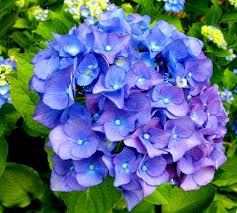 purple hydrangea purple hydrangea purple flowers hydrangea purple