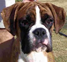 boxer dog price boxers boxer breeders u0026 boxer puppies in south africa