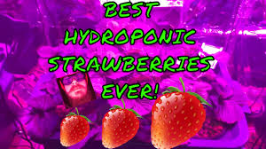 diy indoor hydroponic strawberries in dwc with led light within