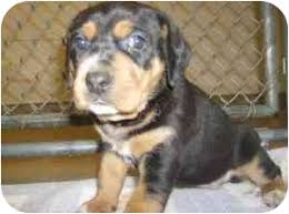 bluetick coonhound breeders in michigan memphis adopted puppy ortonville mi black and tan coonhound