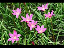 Pink Lily Flower 172 How To Grow Small Pink Lily Pink Rain Lily Zephyranthes