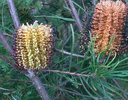 south australian native plants ice age extinction shaped australian plant diversity the