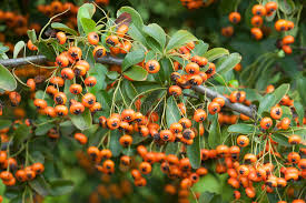 orange berries of ornamental bush stock photo image 64080560