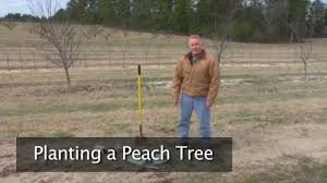 Best Fruit Trees For North Carolina - planting a peach tree youtube