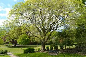 the elm trees of s park of park brighton