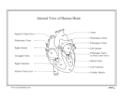 human heart coloring pages body systems free printable human heart