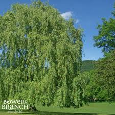 buy trees online bower u0026 branch