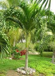 palm tree pictures 250 photos of most popular palm trees