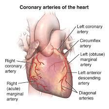Basic Anatomy Of The Ear Basic Anatomy Of The Heart Johns Hopkins Medicine Health Library