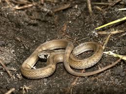 a brown snake storeria dekayi at deer run forest preserve in