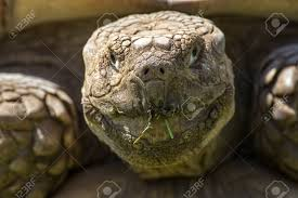 Tortoise Meme - very old animal image cracked wrinkled face of african spurred