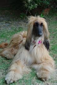 afghan hound speed afghan hounds u2013 haiku hound