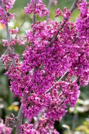 oklahoma native plants oklahoma redbud monrovia oklahoma redbud