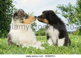 australian shepherd x border collie puppies puppy whelp australian shepherd x border collie mix funny sweet