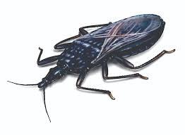 Tiny Red Bugs On Patio by Kissing Bugs Assassin Bugs Pest Risk Facts U0026 Control