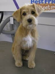 different styles of hair cuts for poodles schnoodle hair cuts schnoodle haircuts my loving schnoodle aspen