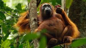orangutan tree eating ngsversion 1397072500820 jpg