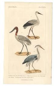 1834 birds white stork american jabiru great or common heron