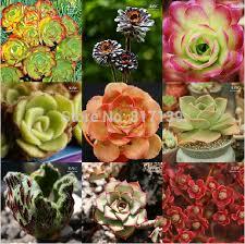 diy home garden plant 10pcs lot living stones gibbaeum heathii