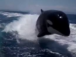 pod of orca whales chasing a speedboat business insider