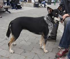 australian shepherd blue heeler mix german shepherd australian cattle dog mix australian cattle dogs