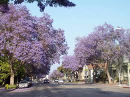 100 names of flowering trees a purple flowering tree next