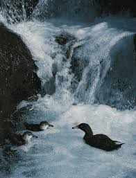 blue duck the white water champion new zealand geographic